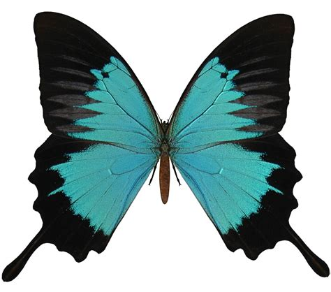 butterflies images butterfly png image free picture