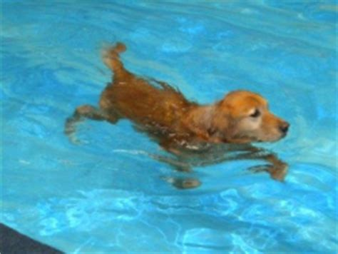 do all dogs how to swim exercise your dogs swimming pawsitive steps