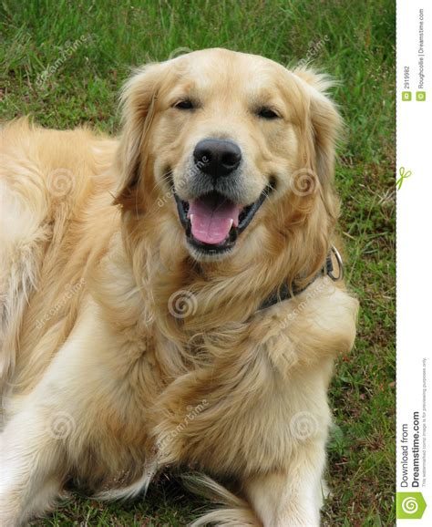 dog house for golden retriever happy dog golden retriever stock photography image 2919982