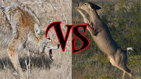 Deer Vs deer vs coyotes you will not believe who wins this epic