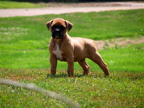 boxer puppie boxer my rocks