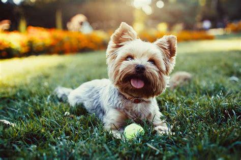 cani di razza piccola per appartamento cani da appartamento piccolo 232 bello e pratico