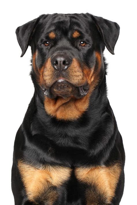 rottweiler information in rottweiler dogs breed information omlet