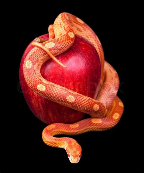 snake apple snake wrapped around an apple isolated stock photo