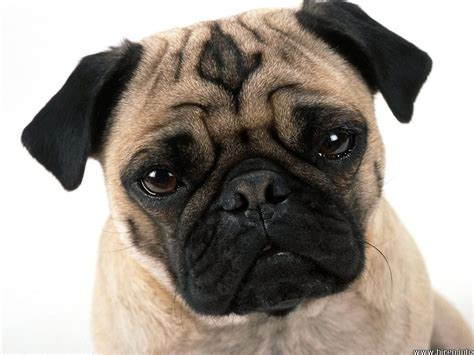 what are pug dogs like dogs sundaresan sekar writes here