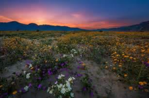 anza borrego bloom anza borrego desert state park wildflower super bloom travel caffeine