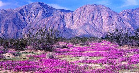 Anza Borrego Desert Flowers california desert is abloom thanks to the freakish amounts
