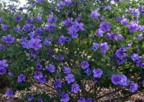 North Star Landscaping by Australian Native Plants Flowering Bushes Shrub And