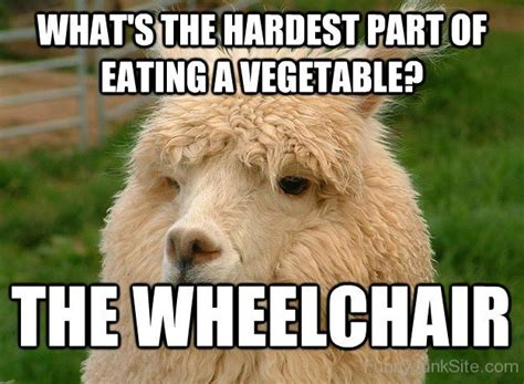 Alpaca Sheep Meme - funny alpaca picture