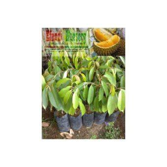 Harga Bibit Durian Bawor Terbaru daftar harga bibit durian murah semua jenis durian update