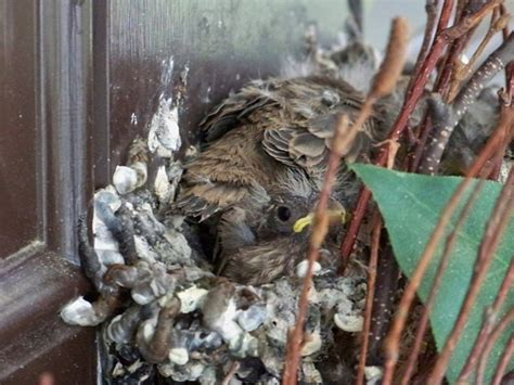 mexican house finch for sale identifying female finches from house finch baby birds