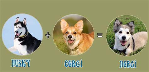 horgi puppies top 10 charming corgi mix breeds or cross breeds