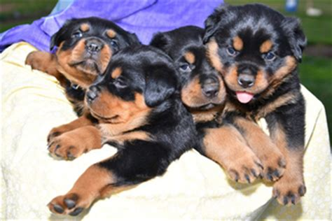 rottweiler puppies for sale in pa 500 rottweiler puppies and dogs for sale