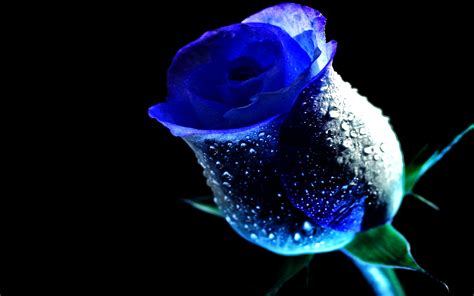 Cincin Water Drop Flower blue roses blue dew drop flower water brian dew drops