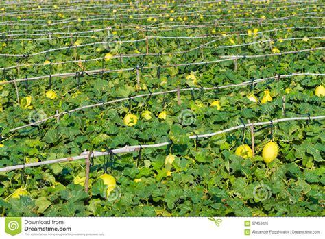 Plantation De Melon by Melon Plantation With Ripe Melons Stock Photo Image Of