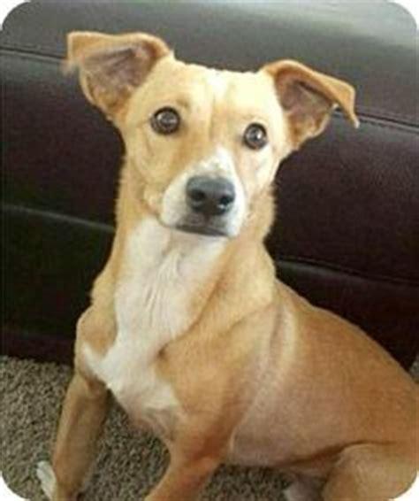 corgi puppies san diego adopted chihuahua italian greyhound mix 7 months is said to