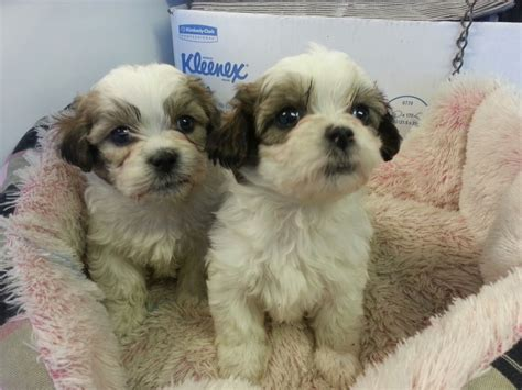 shichon puppies for sale pin shichon puppies for sale teddy coats ae hypoallergenic on