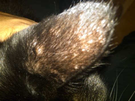 my shih tzu has scabs raised scabs on breeds picture