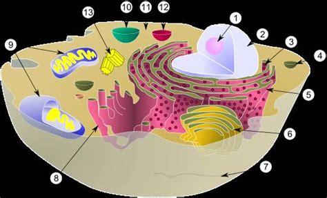 fotos de celulas animais c 233 lula animal s 243 biologia