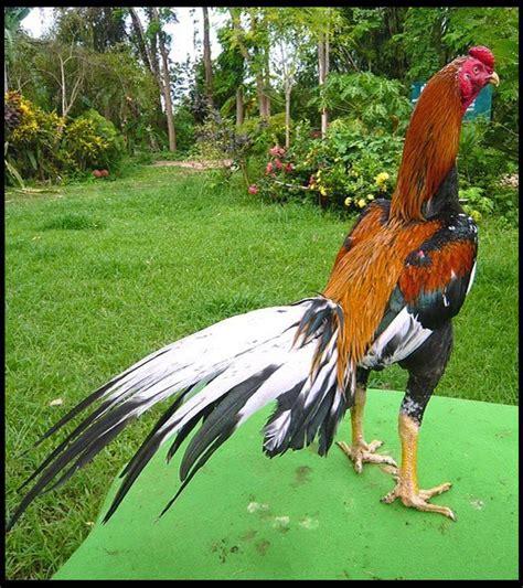 gambar ayam bangkok bagus dan istimewa ayam juara