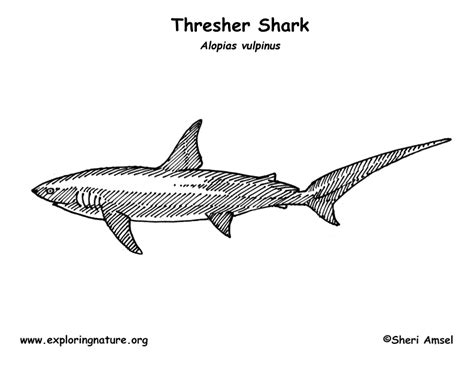 thresher shark coloring page shark thresher coloring page