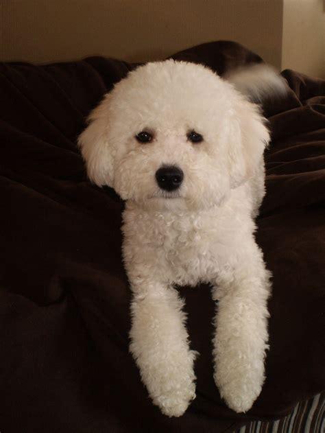 bich poo haircut 127 best images about bichon poodle on pinterest happy