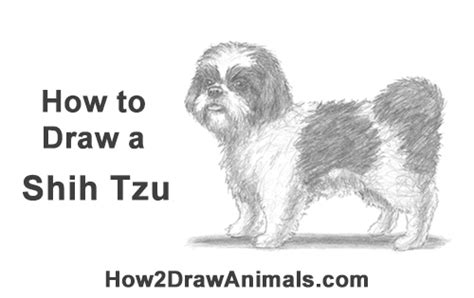 how to a puppy how to draw a shih tzu