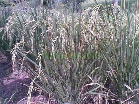 Pupuk Dolomit Untuk Tanah Gambut 8 teknik budidaya padi darat gogo rancah lahan kering