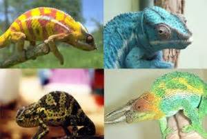 chameleon changing color why do chameleons change color