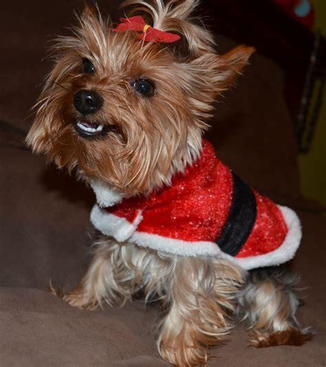 images of christmas yorkies christmas yorkie my leeloo puppy love pinterest