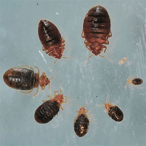 bed bug after feeding bed bug photos rutgers njaes