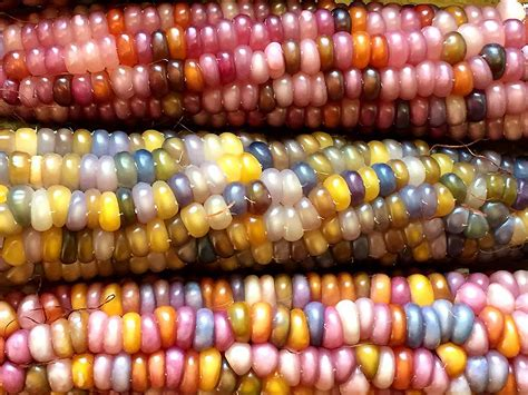 colorful corn this all corn is bejeweled with brilliantly