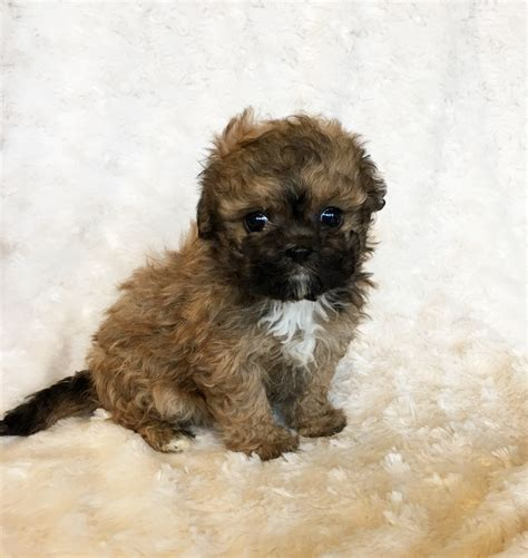 maltipoo pomeranian puppies teacup maltipoo puppy for sale iheartteacups