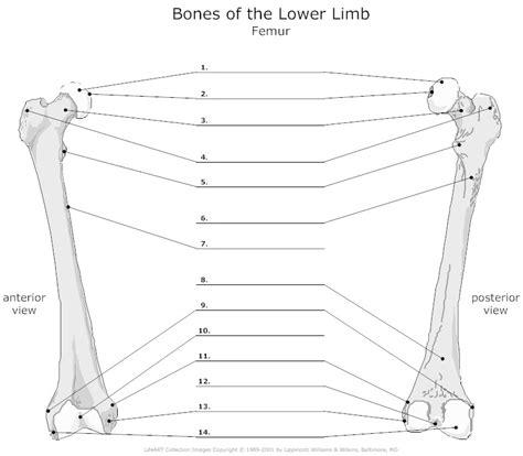 anatomy labeling worksheet femur unlabeled i anatomy understand by and bone jewelry