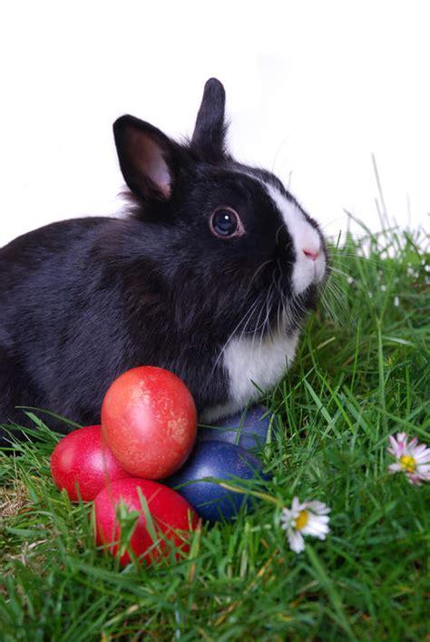 lionhead  sale rabbits breed information omlet