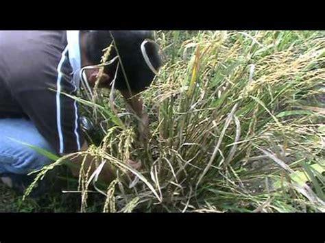 Pupuk Evagrow panen padi organik bersama evagrow