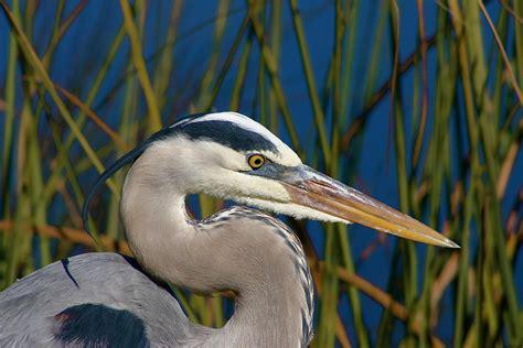 Great Blue Heron Audubon Field Guide Blue Heron