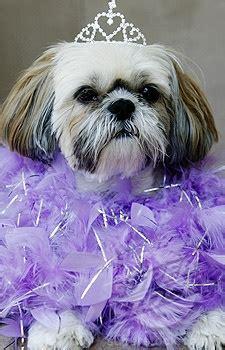 shih tzu clothing 75 best shih tzu images on doggies baby puppies and baby shih tzu