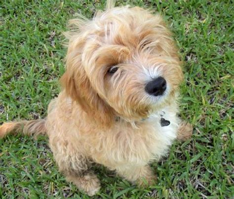 golden retriever terrier mix puppy golden retriever wheaten terrier mix www pixshark images galleries with a bite