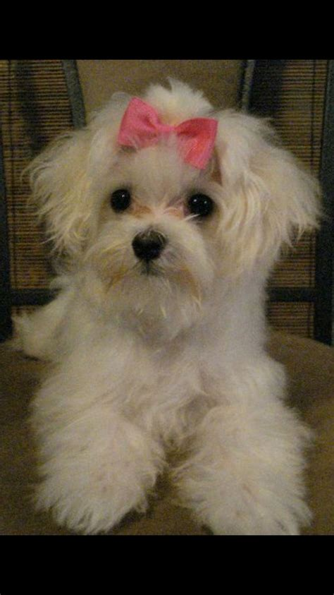 papillon havanese mix havanese and maltese mix www imgkid the image kid has it