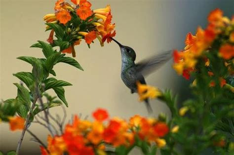 Hummingbird In Flower Garden Flowers Pinterest Hummingbird Garden Flowers