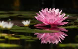Lilly And Lotus Flowers Pads Pink Flowers Water Lilies Wallpapers