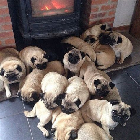 why are pugs called pugs a of pugs is called