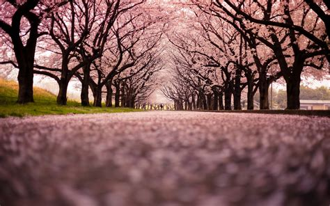 background jepang cherry blossom backgrounds wallpaper cave