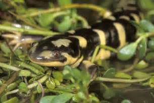 tiger salamander animal wildlife