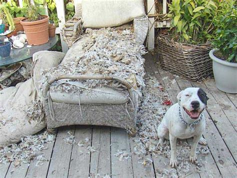 dog ate couch reader photos busted pets behaving badly and caught on