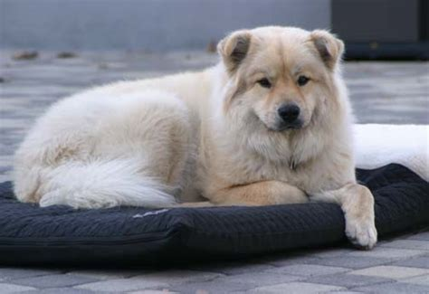 golden retriever and samoyed mix the ultimate thread page 2 pelican parts technical bbs