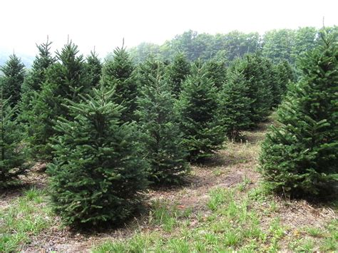 best 28 christmas tree farm flagstaff 100 christmas