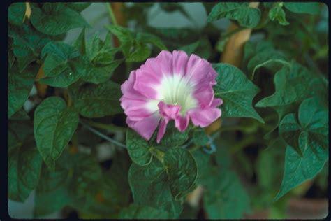Morning Pharbitis Nil T1310 2 morning glories database mutant strains