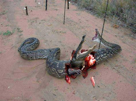 vs snake anaconda vs python www imgkid the image kid has it